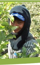 עובד תאילנדי בחקלאות