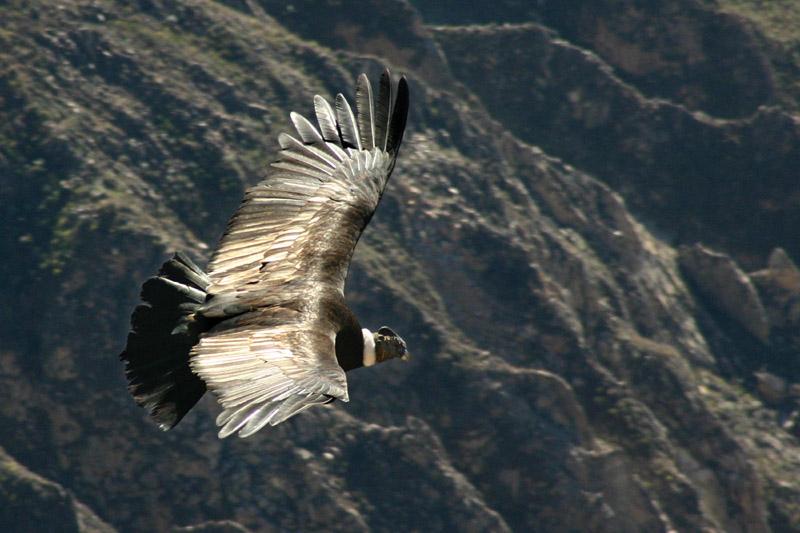 קונדור האנדים דואה מעל קניון קולקה