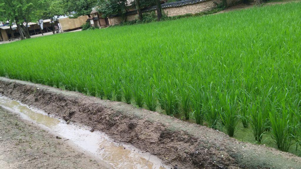 חלקות אורז בכל פינה